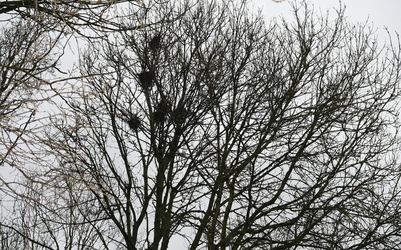 Nesten van roeken in bomen in Meppel.