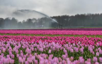 Tulpenvelden bij Dwingeloo.
