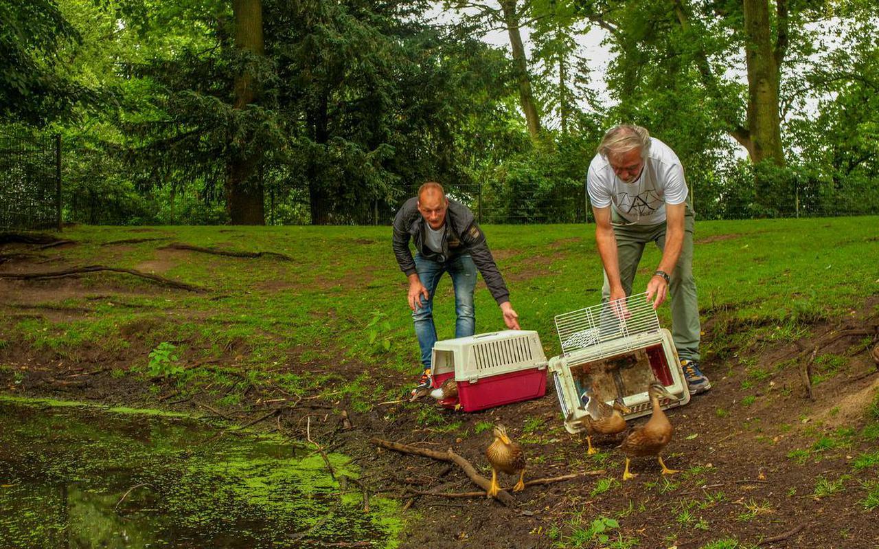 Collin van Dalen en Koos Knol laten de eendjes vrij in het Wilhelminapark in Meppel