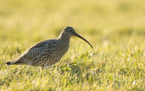 De grondeigenaar zegt dat de aanleg van het moerasgebied funest is voor de weidevogels die daar nu nog leven.